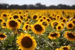 Girasoli sotto il sole felice Immagine Stock Libera da Diritti
