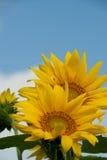 Girasoli sotto Sunny Sky Fotografia Stock Libera da Diritti