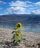 Girasoli sulla banca del ciottolo del lago Canada Okanagan fotografie stock