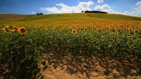 Girasoli toscani Fotografie Stock Libere da Diritti