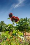 Girasoli in un giardino Fotografie Stock Libere da Diritti