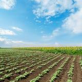 Girasoli verdi sotto il cielo nuvoloso Immagini Stock Libere da Diritti