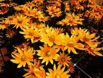 Girassóis alaranjados brilhantes Foto de Stock Royalty Free