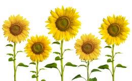 Girassóis amarelos Fotografia de Stock Royalty Free