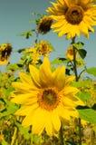 Girassóis amarelos Foto de Stock