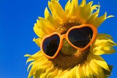 Girassóis amarelos com óculos de sol do coração Imagens de Stock