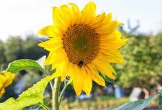Girassóis amarelos em uma exploração agrícola Jardim com girassóis Imagem de Stock