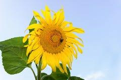 Girassóis amarelos em uma exploração agrícola Jardim com girassóis Foto de Stock