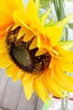 Girassóis amarelos na flor Imagens de Stock Royalty Free