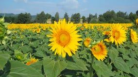Girassóis amarelos Paisagem rural maravilhosa do campo do girassol no dia ensolarado Imagens de Stock