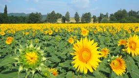 Girassóis amarelos Paisagem rural maravilhosa do campo do girassol no dia ensolarado Foto de Stock Royalty Free