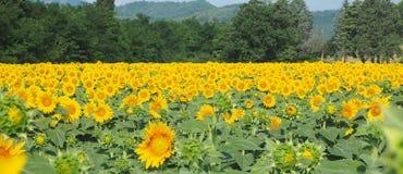 Girassóis amarelos Paisagem rural maravilhosa do campo do girassol no dia ensolarado Imagem de Stock Royalty Free