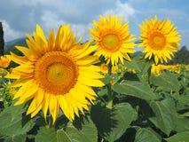 Girassóis amarelos Paisagem rural maravilhosa do campo do girassol no dia ensolarado Fotos de Stock Royalty Free