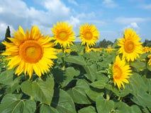 Girassóis amarelos Paisagem rural maravilhosa do campo do girassol no dia ensolarado Foto de Stock