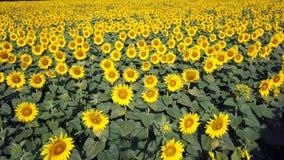 Girassóis amarelos Paisagem rural maravilhosa do campo do girassol no dia ensolarado Opinião aérea do zangão video estoque