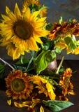 Girassóis bonitos Fotografia de Stock Royalty Free