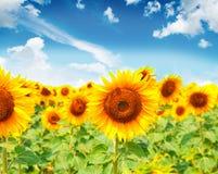 Girassóis bonitos com imagem do céu azul Imagem de Stock Royalty Free