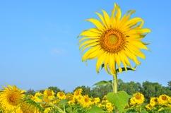 Girassóis bonitos no campo com céu azul Fotografia de Stock