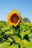 Girassóis bonitos no campo com o céu azul brilhante Fotografia de Stock