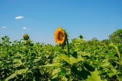 Girassóis bonitos no campo com o céu azul brilhante Imagem de Stock Royalty Free