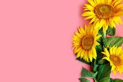 Girassóis bonitos no fundo cor-de-rosa Vista de acima Fundo com espaço da cópia Imagem de Stock