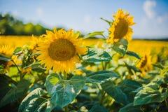 Girassóis, Bulgária Campo de girassóis de florescência em um céu azul do fundo Fotos de Stock
