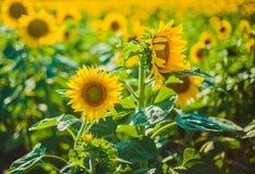 Girassóis, Bulgária Campo de girassóis de florescência em um céu azul do fundo Imagem de Stock Royalty Free