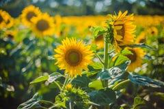 Girassóis, Bulgária Campo de girassóis de florescência em um céu azul do fundo Foto de Stock Royalty Free