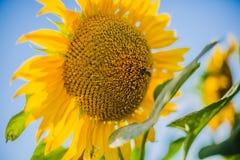 Girassóis, Bulgária Campo de girassóis de florescência em um céu azul do fundo Foto de Stock
