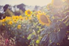 Girassóis, Bulgária Campo de girassóis de florescência em um céu azul do fundo Fotografia de Stock
