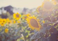 Girassóis, Bulgária Campo de girassóis de florescência em um céu azul do fundo Imagem de Stock