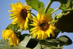 Girassóis com abelhas Imagens de Stock