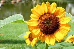 Girassóis com as folhas verdes no jardim na manhã fresca imagem de stock royalty free