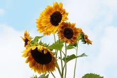 Girassóis com flores abertas - helianthus annuus Fotos de Stock Royalty Free