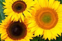 Girassóis com folhas Fundo da natureza Foto de Stock Royalty Free