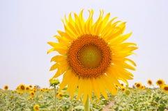 Girassóis com o sol Imagem de Stock Royalty Free