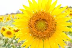 Girassóis com o sol Fotos de Stock Royalty Free