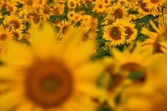 Girassóis consideravelmente amarelos Fotografia de Stock Royalty Free