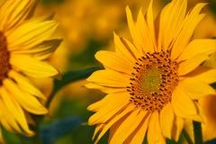 Girassóis consideravelmente amarelos Imagem de Stock Royalty Free