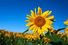 Girassóis consideravelmente amarelos Imagens de Stock Royalty Free