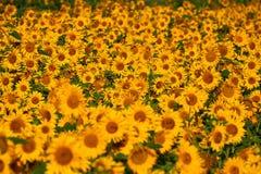 Girassóis consideravelmente amarelos Imagem de Stock