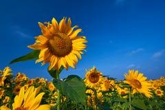 Girassóis consideravelmente amarelos Fotografia de Stock