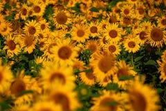 Girassóis consideravelmente amarelos Fotos de Stock Royalty Free