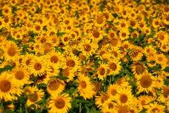 Girassóis consideravelmente amarelos Imagens de Stock
