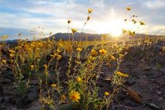 Girassóis de deserto de florescência (canescens), parque nacional de Geraea de Vale da Morte, EUA fotografia de stock