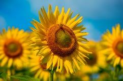 Girassóis de florescência Imagem de Stock