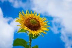 Girassóis de florescência Foto de Stock Royalty Free
