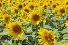 Girassóis de florescência Fotografia de Stock