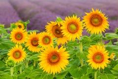 Girassóis de florescência Fotografia de Stock Royalty Free