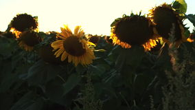Girassóis de florescência em um por do sol do fundo agricultura filme